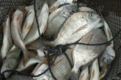 Free Fishes In The Fishnet Royalty Free Stock Photography - 4828707
