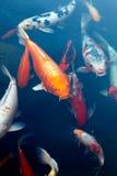 Fishes of Koi Pond Royalty Free Stock Photos
