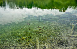 Fishes in the lake Stock Photography