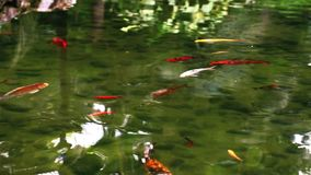 Fishes in the Lake Water. Video stock footage