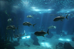 Fishes at Lisbon Oceanarium Royalty Free Stock Photo