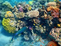 Fishes Living In The Coral Of The Red Sea, Eilat, Israel Royalty Free Stock Photo