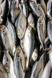 Fishes in the Market. Top view of Sardine fishes on display in the market Royalty Free Stock Photography