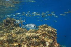 Fishes of the Mediterranean sea underwater France Stock Image