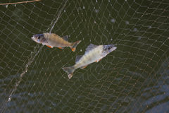 The fishes in net. Two fishes in fishing net Stock Image