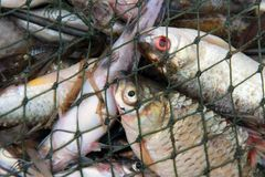 Fishes in the net Stock Photos