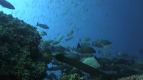 Fishes in Pacific ocean stock footage