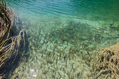Fishes the Plitvice lake in croatia Royalty Free Stock Photography