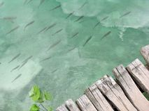 Fishes at Plitvice national park. Fishes and wood pontoon at the lakes of Plitvice's National Park in Croatia Royalty Free Stock Photo