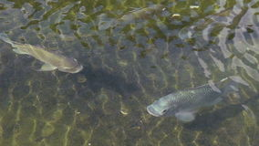Fishes in A Pond stock footage