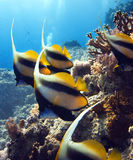 Fishes in the red sea. A group of colorful fishes underwater stock photo