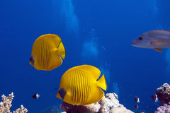 Fish in the red sea. A couple of colorful fishes underwater Royalty Free Stock Images