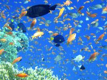 Fishes of Red sea. Royalty Free Stock Photos