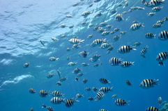 Fishes at the Red Sea Stock Photo