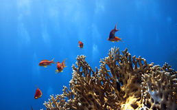 Fishes in the red sea - Pseudanthias squamipinnis Royalty Free Stock Image