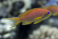Fishes in the red sea - Pseudanthias squamipinnis Stock Images