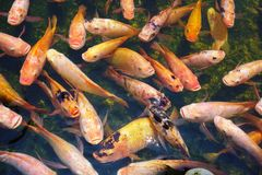 Fishes in a reservoir Royalty Free Stock Images