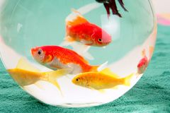 Fishes in a round glass bowl red carps green backg stock photos