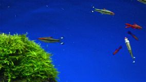 Fishes and seaweed. In aquarium stock video footage