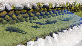 Fishes in the small canal Royalty Free Stock Image