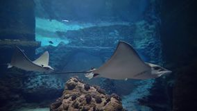 Fishes, stingrays, sea animals swimming in water, underwater life in zoo stock video