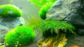 Fishes swimming in aquarium. Colorful fishes swimming in aquarium stock video footage