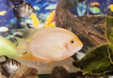 Fishes swimming in aquarium. Tropical colorful fishes swimming in aquarium with plants Stock Photos