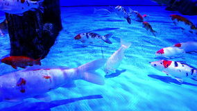 Fishes swimming big fish tank. Fishes swimming in big fish tank stock footage