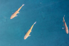 Fishes swimming in blue the water. Some fishes swimming in the water royalty free stock images