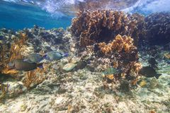 Fishes swimming in the Caribbean Sea. Of Mexico Stock Photos