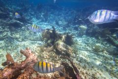 Fishes swimming in the Caribbean Sea. Shoal of fishes in the Caribbean Sea of Mexico Stock Image