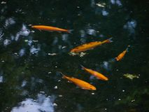 Fishes swimming lake Stock Photos
