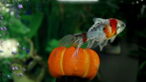Fishes swimming over a pumpking in aquarium. Health and Body care stock video footage