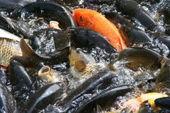 Fishes Swimming In The Pound. Plenty of hungry carp fish swimming in the pound (typical Chinese Korean Japanese park pound fish Stock Photography