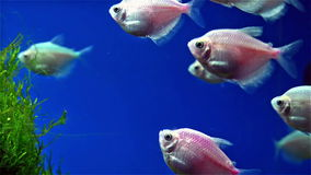 Fishes swimming in tank stock video footage