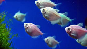 Fishes swimming in tank stock video