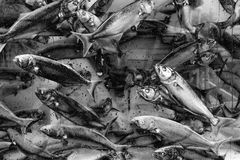 Fishes are swimming in water black and white Royalty Free Stock Images