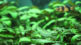 Fishes in the tank with green flowers. Full HD video. stock video footage