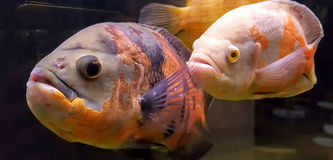 Fishes in a tank of water. A picture of beautiful fishes, in a tank of water Royalty Free Stock Image