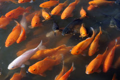 Fishes at Tongli in China Stock Image
