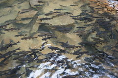 Fishes under the clear water. Mahseer barb fishes under the clear water at Phlio waterfall in Chanthaburi province, eastern of Thailand Royalty Free Stock Images