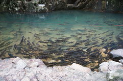Fishes under the clear water Stock Photography