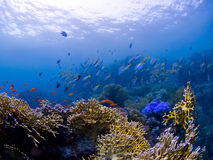 Fishes at Underwater Coral reef Royalty Free Stock Photos