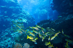 Fishes at underwater coral reef Royalty Free Stock Photography