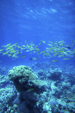 Underwater coral reef. Fishes underwater at coral reef in the Red Sea, Egypt Stock Photo