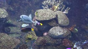 Fishes underwater. Exotic fishes in tropical ocean. Underwater picture stock video footage
