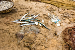 Fishetman catch. A lot of dead fish on the beach, lying on the sand. Fisherman`s catch in Mount Lavinia. Sri Lanka Royalty Free Stock Photos