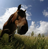 Fisheye closeup of horse. Distorted fisheye view of a horse and the sky Royalty Free Stock Image