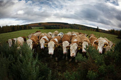 Fisheye of Funny heard of Cattle. Closeup of a heard of cattle staring at the camera Stock Images