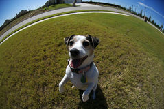 Fisheye girl. A cute female jack russel photographed with a fisheye thens to exaggerate perspective Stock Photography